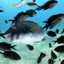 Ocean_school_fish_shutterstock_37297447_Levent_Konuck