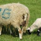 branded_lambs_shutterstock_3432593_Steve_Mann