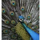 peacock_bigstock_842843