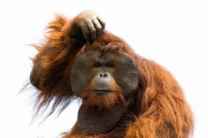 orangutang_istock_000003420564xsmall
